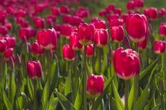 Tulipanes rojos en resorte Imagen de archivo