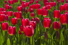 Tulipanes rojos en resorte Foto de archivo