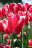 Tulipanes rojos en resorte Imagenes de archivo