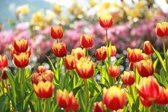 Tulipanes rojos en Tailandia Imagenes de archivo