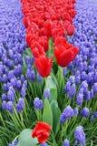 Tulipanes rojos en un ambiente del muskara Imagen de archivo libre de regalías