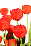 Tulipanes rojos en un blanco Imagen de archivo