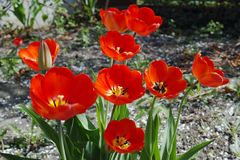 Tulipanes rojos en un día soleado imágenes de archivo libres de regalías