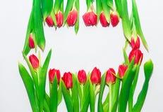 tulipanes rojos en un fondo blanco Imagen de archivo libre de regalías