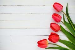 tulipanes rojos en un fondo blanco Foto de archivo libre de regalías