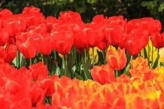 Tulipanes rojos flanqueados por los tulipanes del amarillo anaranjado Fotografía de archivo
