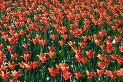 Tulipanes rojos florecientes Fotografía de archivo libre de regalías