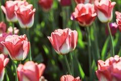 Tulipanes rojos florecientes Foto de archivo libre de regalías