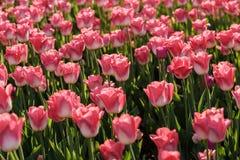 Tulipanes rojos florecientes Imagen de archivo