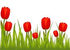 Tulipanes rojos florecientes Imagen de archivo libre de regalías