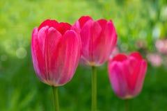 Tulipanes rojos florecientes Fotografía de archivo