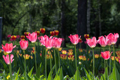 Tulipanes rojos florecientes Fotos de archivo