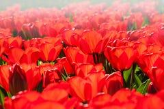 Tulipanes rojos florecientes cerca para arriba Fotos de archivo libres de regalías
