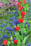 Tulipanes rojos florecientes con los jacintos de uva en primavera Foto de archivo