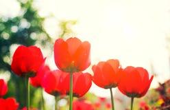Tulipanes rojos florecientes en la primavera Fotos de archivo