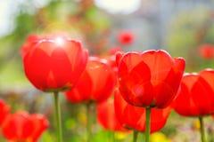 Tulipanes rojos florecientes en la primavera Foto de archivo libre de regalías