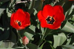 Tulipanes rojos florecientes en la primavera Brote de flor, un poco abierto y completamente abierto Imagenes de archivo