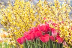 Tulipanes rojos florecientes, foco selectivo, concepto del fondo de la postal de la primavera Fotos de archivo libres de regalías