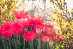 Tulipanes rojos florecientes, foco selectivo, concepto del fondo de la postal de la primavera Fotografía de archivo
