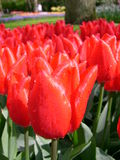 Tulipanes rojos frescos Fotografía de archivo libre de regalías