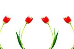 Tulipanes rojos frescos Fotos de archivo libres de regalías