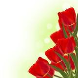 Tulipanes rojos frescos en fondo verde Fotos de archivo