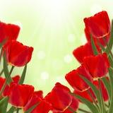 Tulipanes rojos frescos en fondo verde Fotos de archivo libres de regalías