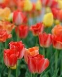 Tulipanes rojos grandes Imagen de archivo libre de regalías