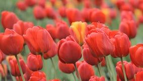 Tulipanes rojos grandes almacen de metraje de vídeo