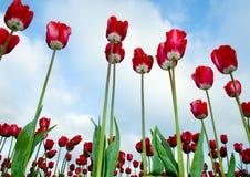 Tulipanes rojos helados Imágenes de archivo libres de regalías