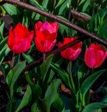 Tulipanes rojos hermosos Imagenes de archivo