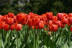 Tulipanes rojos hermosos Fotografía de archivo libre de regalías