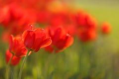 Tulipanes rojos hermosos Fotografía de archivo