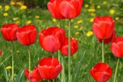 Tulipanes rojos hermosos foto de archivo libre de regalías