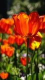 Tulipanes rojos hermosos Imagen de archivo