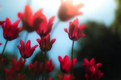 Tulipanes rojos hermosos en campo en primavera Imágenes de archivo libres de regalías