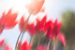 Tulipanes rojos hermosos en campo en primavera Fotos de archivo