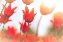 Tulipanes rojos hermosos en campo en primavera Imagen de archivo libre de regalías