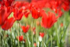 Tulipanes rojos hermosos en campo en primavera Fotografía de archivo