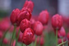 Tulipanes rojos hermosos en el jardín de la primavera Imagen de archivo libre de regalías