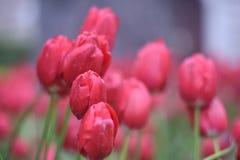Tulipanes rojos hermosos en el jardín de la primavera Foto de archivo libre de regalías