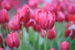 Tulipanes rojos hermosos en el jardín de la primavera Imágenes de archivo libres de regalías