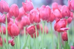 Tulipanes rojos hermosos en el jardín de la primavera Fotografía de archivo libre de regalías