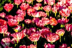 Tulipanes rojos hermosos en tiempo soleado en Holanda imagenes de archivo