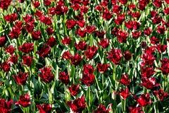 Tulipanes rojos hermosos en tiempo soleado en Holanda imagen de archivo