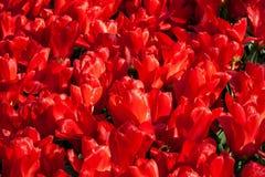 Tulipanes rojos hermosos en tiempo soleado en Holanda imagen de archivo libre de regalías