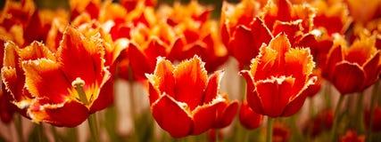 Tulipanes rojos hermosos que crecen en el macizo de flores Fotografía de archivo
