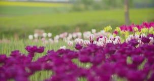 Tulipanes rojos hermosos que florecen en campo almacen de metraje de vídeo