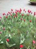 Tulipanes rojos holandeses Imágenes de archivo libres de regalías