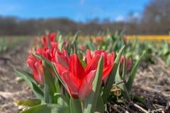 Tulipanes rojos plantados y que crecen en filas en un campo en Holanda Imagenes de archivo